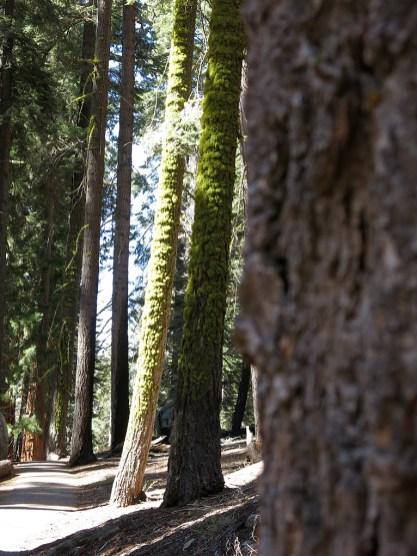 sequoia_02_15