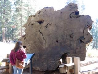 Querschnitt eines Riesensequoias