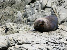 Ein einsamer Seelöwe an den Red Rocks
