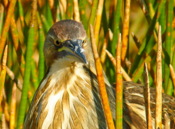 American Bittern in the Reeds