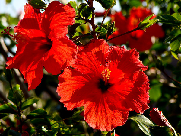Hibiscus (backlight)