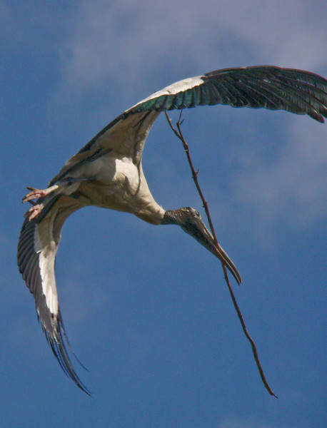 Wood Stork with Nesting Materials