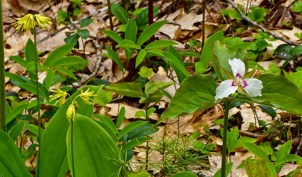 Trout Lily and Trillium