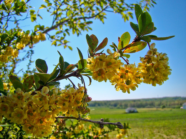 Barberry (Laudholm Farms)