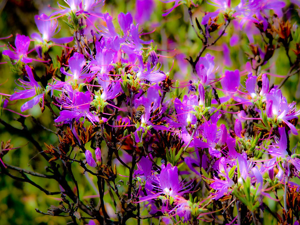 Abstract of Rhodora