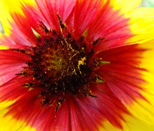 Extreme Blanket Flower