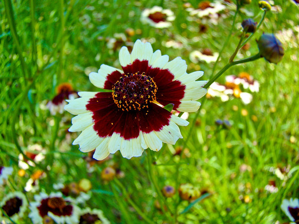 Portrait of Coreopsis