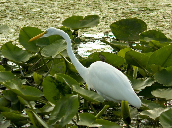 The Big Picture: Great Egret Feeding