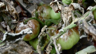 tomat-phitophtora