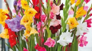 mixed-gladiolus