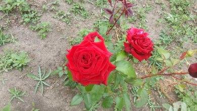1-roza