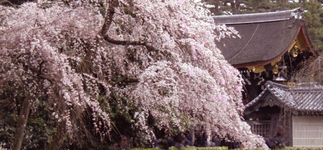 "Beautiful Sakura are almost full bloom <br> in ""Gosho"" the Imperial Palace."
