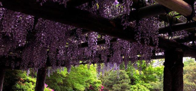The wisteria and azaleas in Jonangu Shrine.