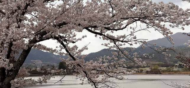 Hirosawa pond: Cherry blossoms and rural scenery.