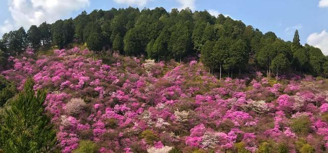 Let's enjoy purple. Azalea in Takao is now season.