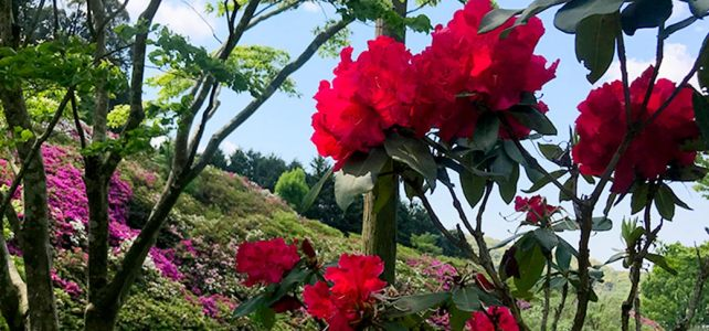 Azalea and Rhododendron under the blue sky. At Mimurotoji.