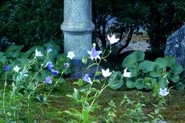 TentokuinBellflower03