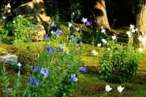 TentokuinBellflower08