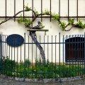 Старейшая в Европе виноградная лоза Марибор Словения