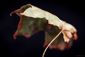 This is a photo of a Leaf changing color by Stephen Desroches