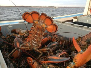 Fresh PEI Lobster