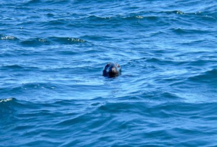 A seal in the water, Souris, PEI