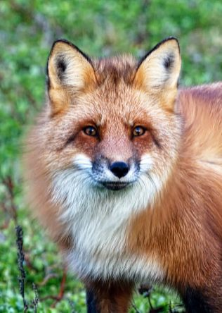 Red Fox - Photo by Shirley Gallant ©Tourism PEI