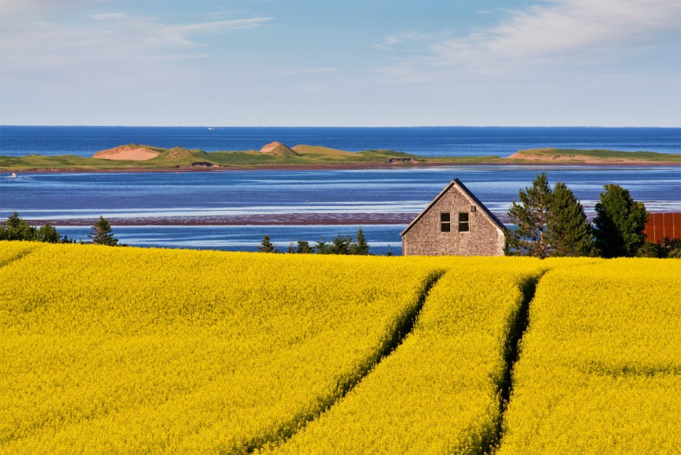 Canola Field in PEI