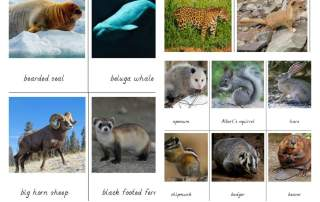 North american mammals cards