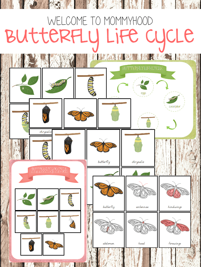 graphic relating to Butterfly Life Cycle Printable named Butterfly lifetime cycle printables and components of a erfly montessori printables