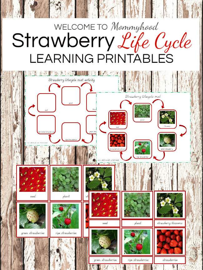 Montessori activities: Strawberry life cycle #montessori #montessoriactivities