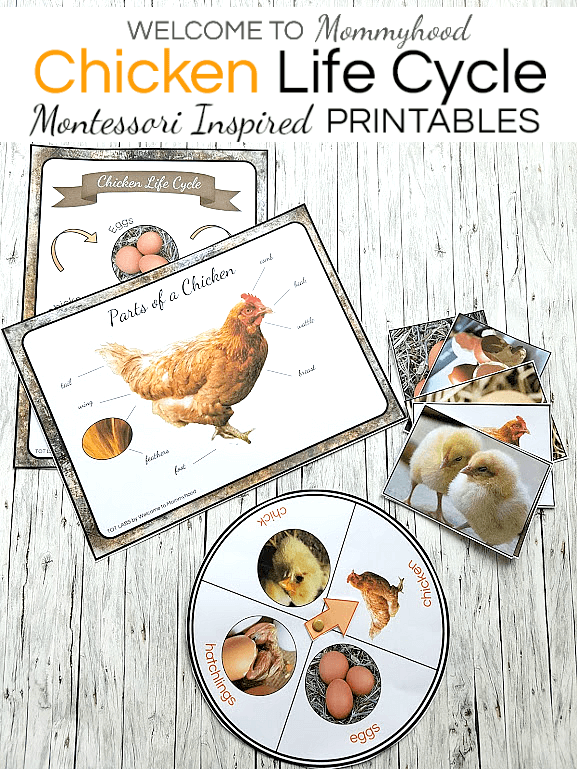 graphic relating to Life Cycle of a Chicken Printable named Montessori Chook Everyday living Cycle Pursuits for preschool and