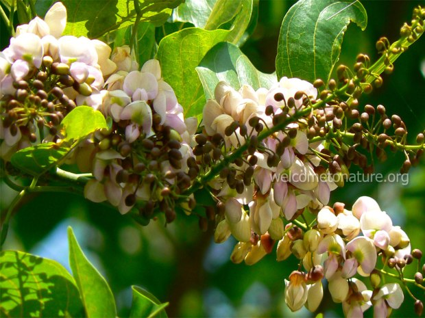 Indian-beech-karum-pongam--poonga-oil-seashore-mempari-pong-ung-tree-with-flower