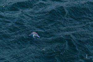 Portuguese man o' war floating on the sea