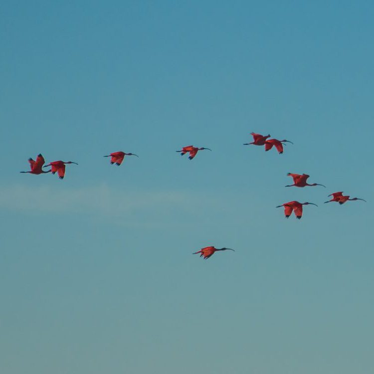 Group of red ibis birds flying