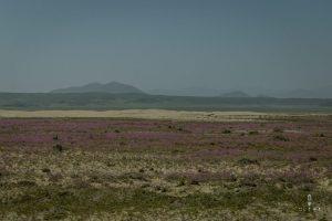 The flourishing desert in Chile
