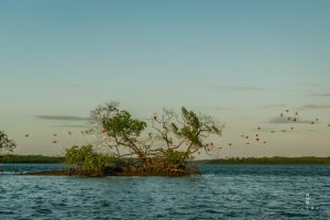 Red ibises flying over in the Paraiba Delta in Brazil