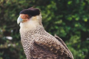 Close up male caracara Argentina