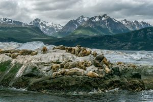Sea Lions colony sleeping on a rock in Ushuaia