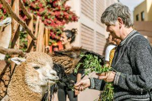 Woman feeding lamas