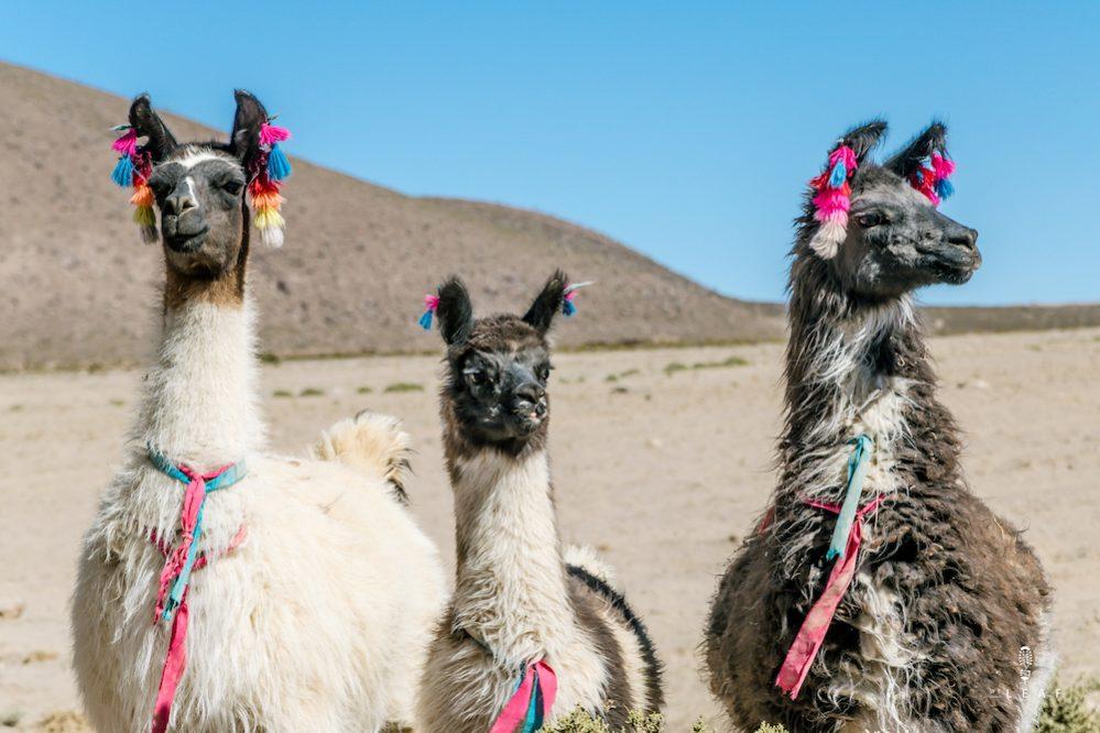 Lama's in Bolivia met gekleurde bolletjes aan de oren