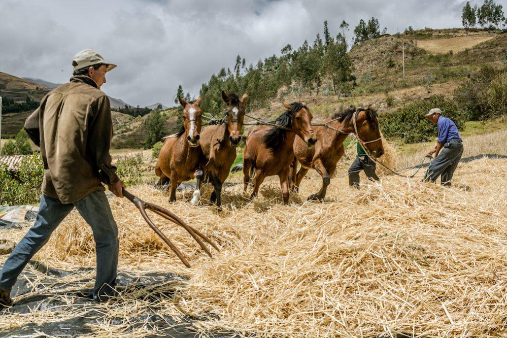 Kaf van het koren scheiden in Peru met paarden