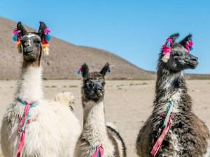 llamas in Bolivia, llamas with decorations