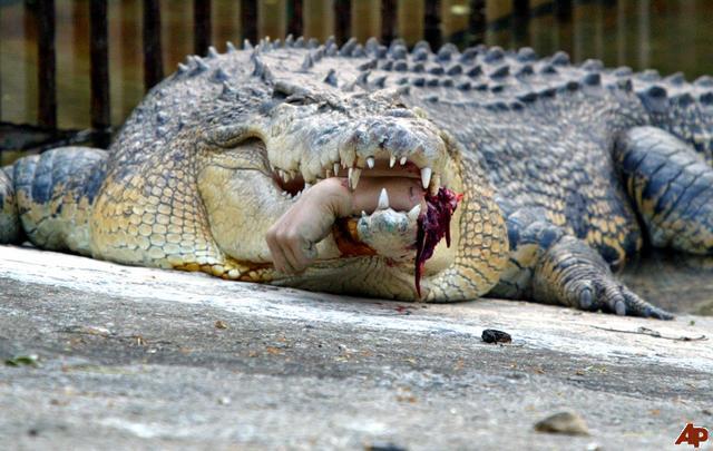 """Résultat de recherche d'images pour """"attaques de crocodiles"""""""