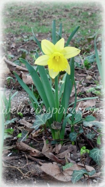 Sir Edward Daffodil 2