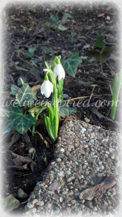a pair of snowdrops 2