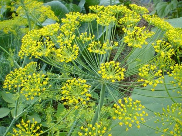 Here is what the dill flower looks like.