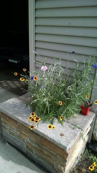 The yellow flowers are a variety of Coreopsis called Moonbeam.  This is the earliest photo I took before all the flowers were in bloom.