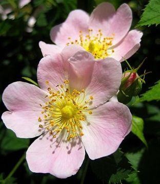 Wild Rose Graphic