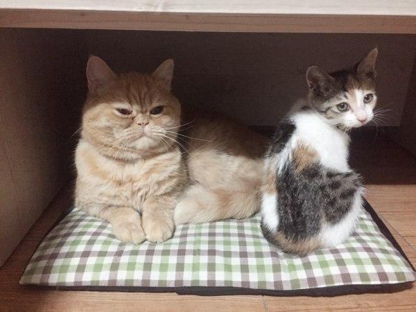 고양이 인식표 달았어요!! 꽃망울인식표(feat. 마이크로칩?)